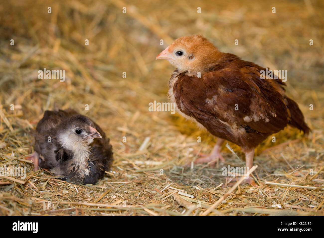 Rhode Island Red chick standing and Black Americana chick sitting on a hay bale at Baxter Barn in Fall City, Washington, USA - Stock Image