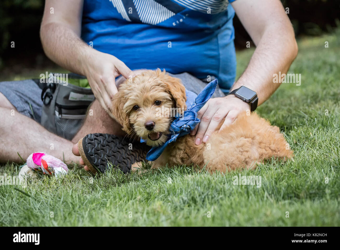 Eight week old Goldendoodle puppy 'Bella', wearing a neckerchief, taking a break from playing to sit by - Stock Image
