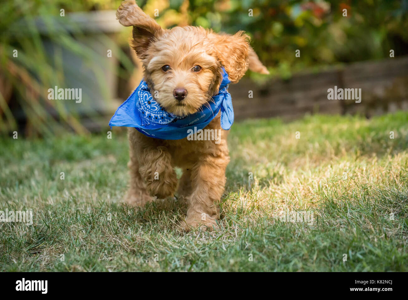 Eight week old Goldendoodle puppy 'Bella' wearing a neckerchief while playing on the lawn in Issaquah, Washington, - Stock Image