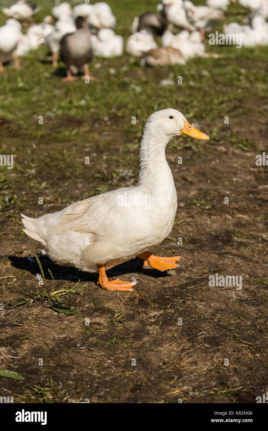 Pekin duck walking in western Washington, USA.  The American Pekin Duck, Pekin duck, or Long Island duck, is a breed of domesticated duck. - Stock Image
