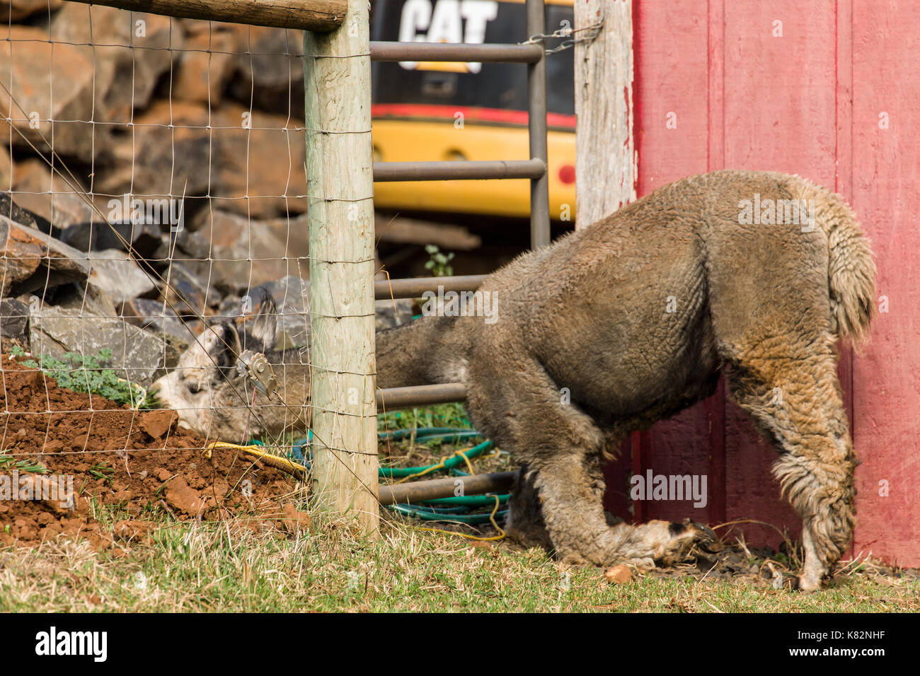 Alpaca with its head through the fence, at the Cascade Alpacas and Foothills Yarn & Fiber farm near Hood River, Stock Photo