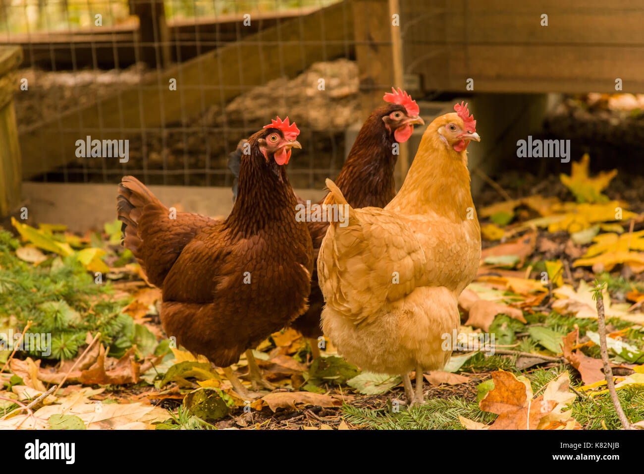 Free-ranging Buff Orpington and Rhode Island Red chickens, walking outside their coop, in western Washington, USA Stock Photo