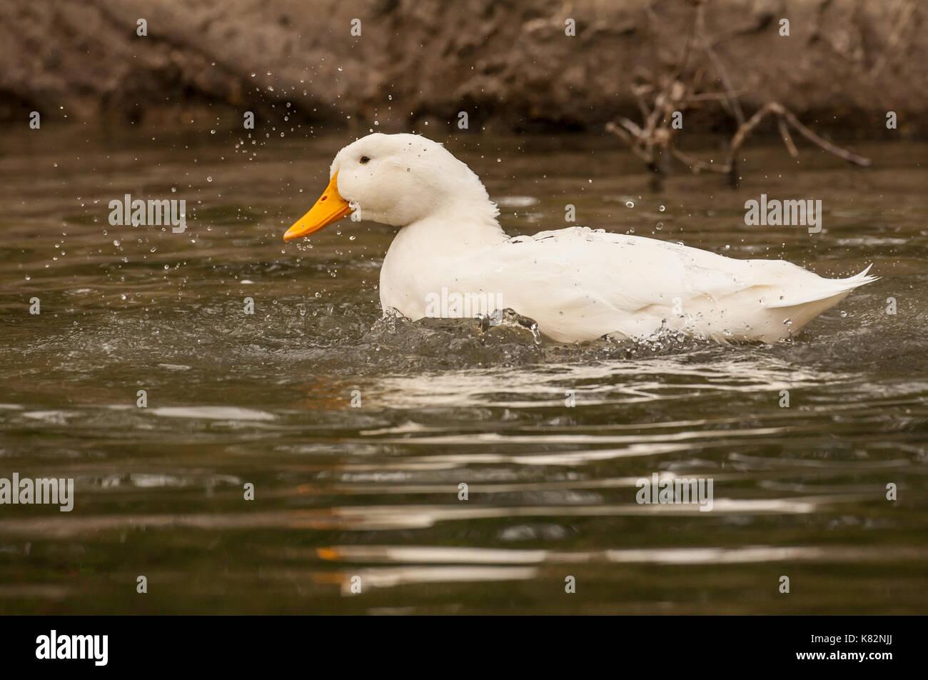 Pekin duck bathing in a pond in Hermann Park in Houston, Texas, USA.  The American Pekin Duck, Pekin duck, or Long Island duck, is a breed of domestic - Stock Image