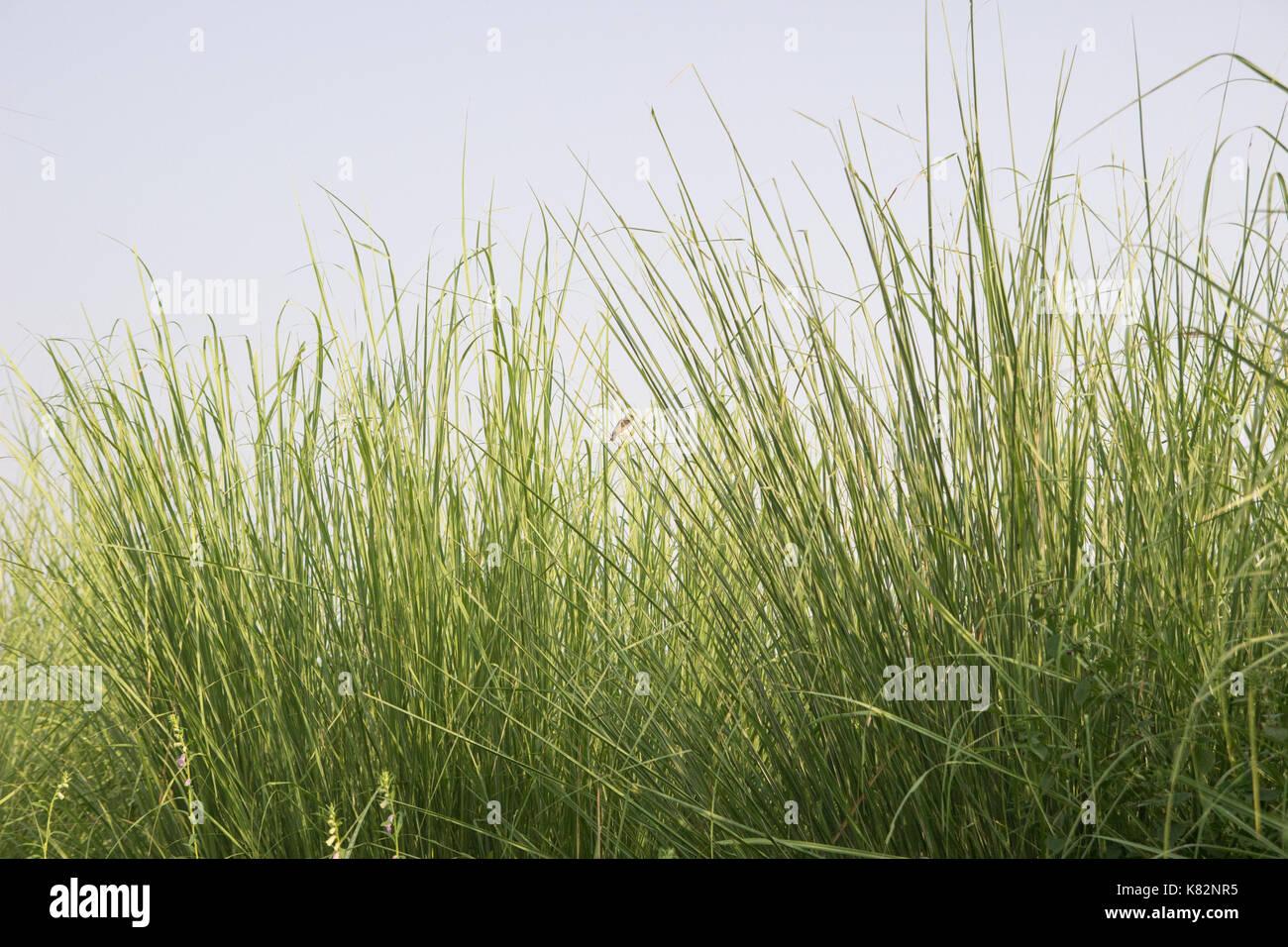 Fields of Bajra - Stock Image