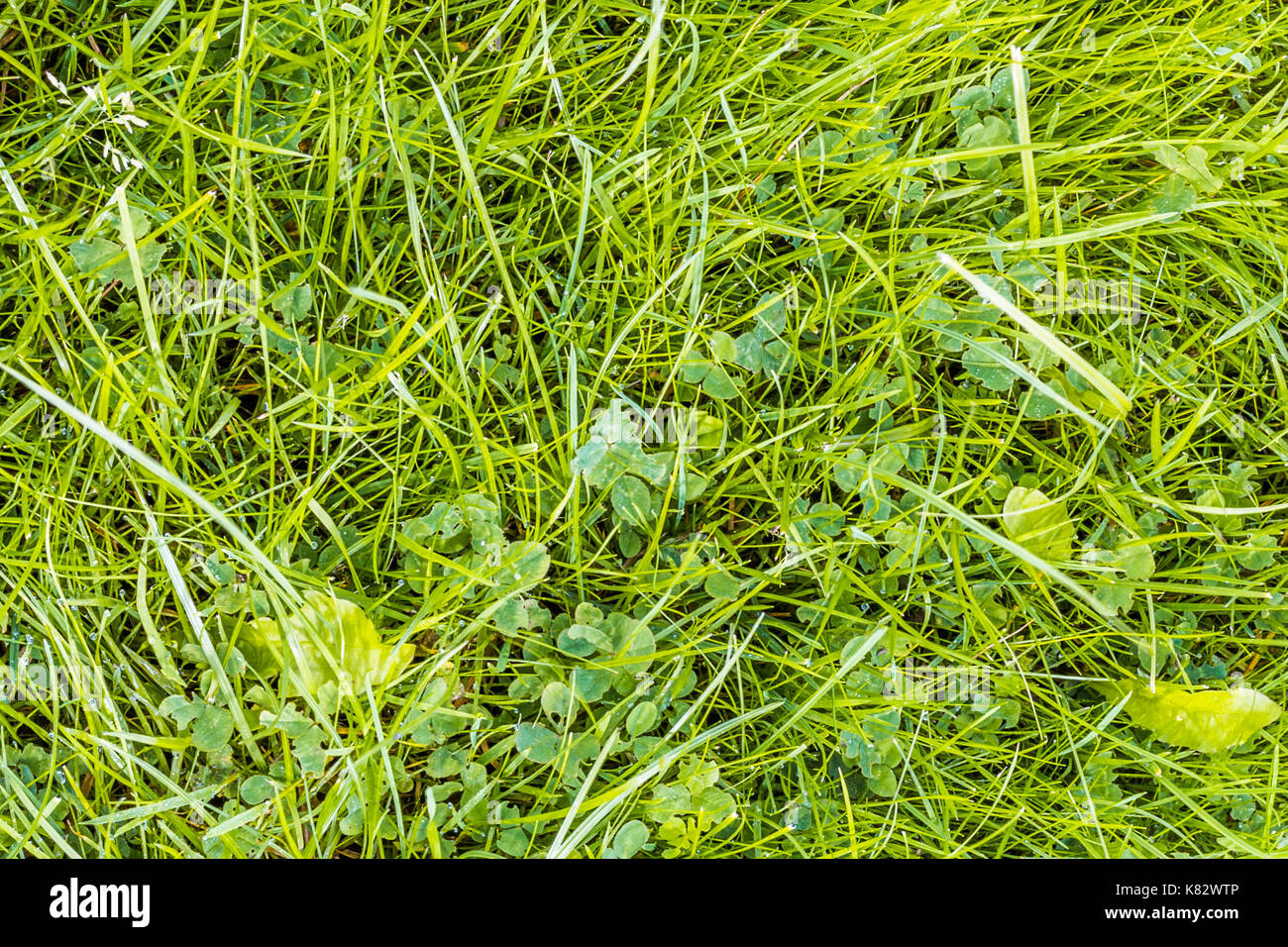 Green grass texture with natural patterns view from above can be used as background. - Stock Image