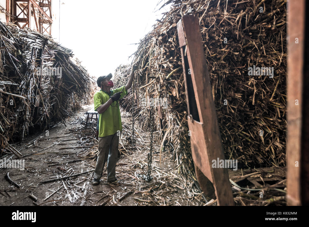 A factory worker arranges and checks the sugarcane pieces at the receiving and unloading section of Tasikmadu Sugar Mill in Central Java, Indonesia. - Stock Image