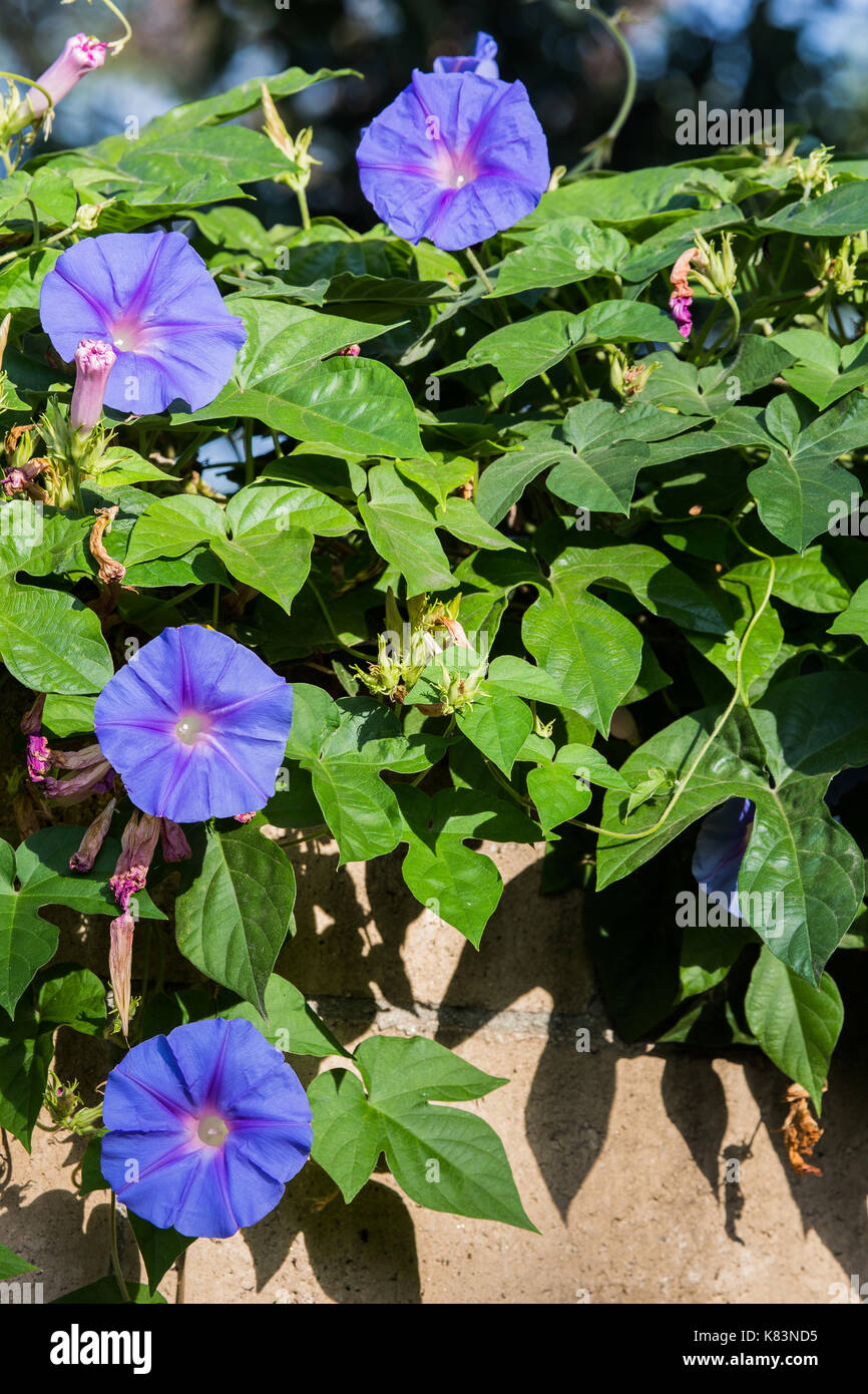 Morning sunlight on Heavenly Blue Morning Glory vine in Bloom in Southern California (Ipomoea tricolor) - Stock Image
