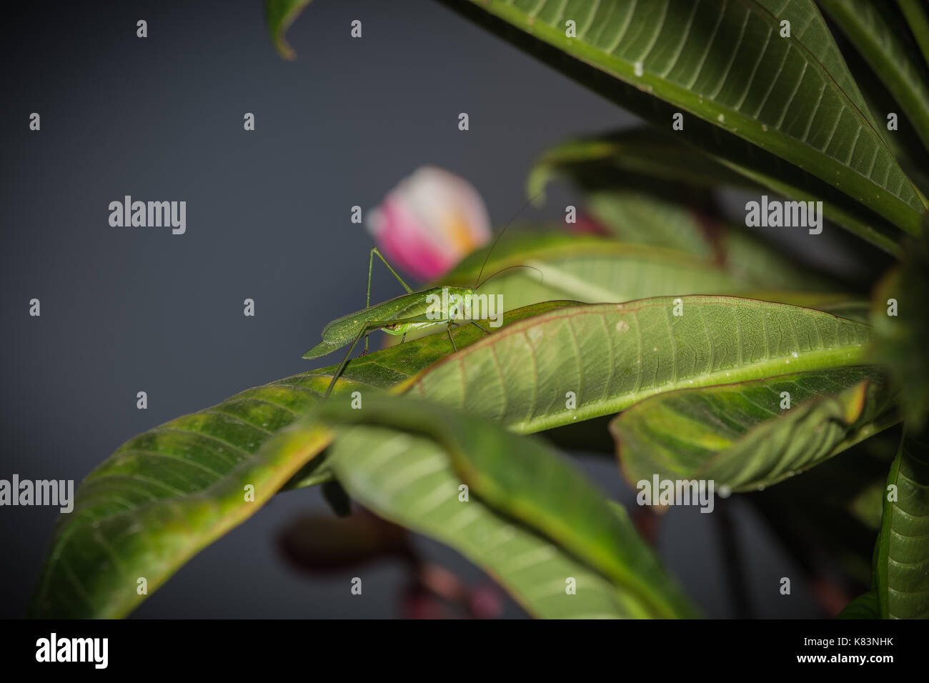fork tailed katydid (Scudderia cuneate) - Stock Image