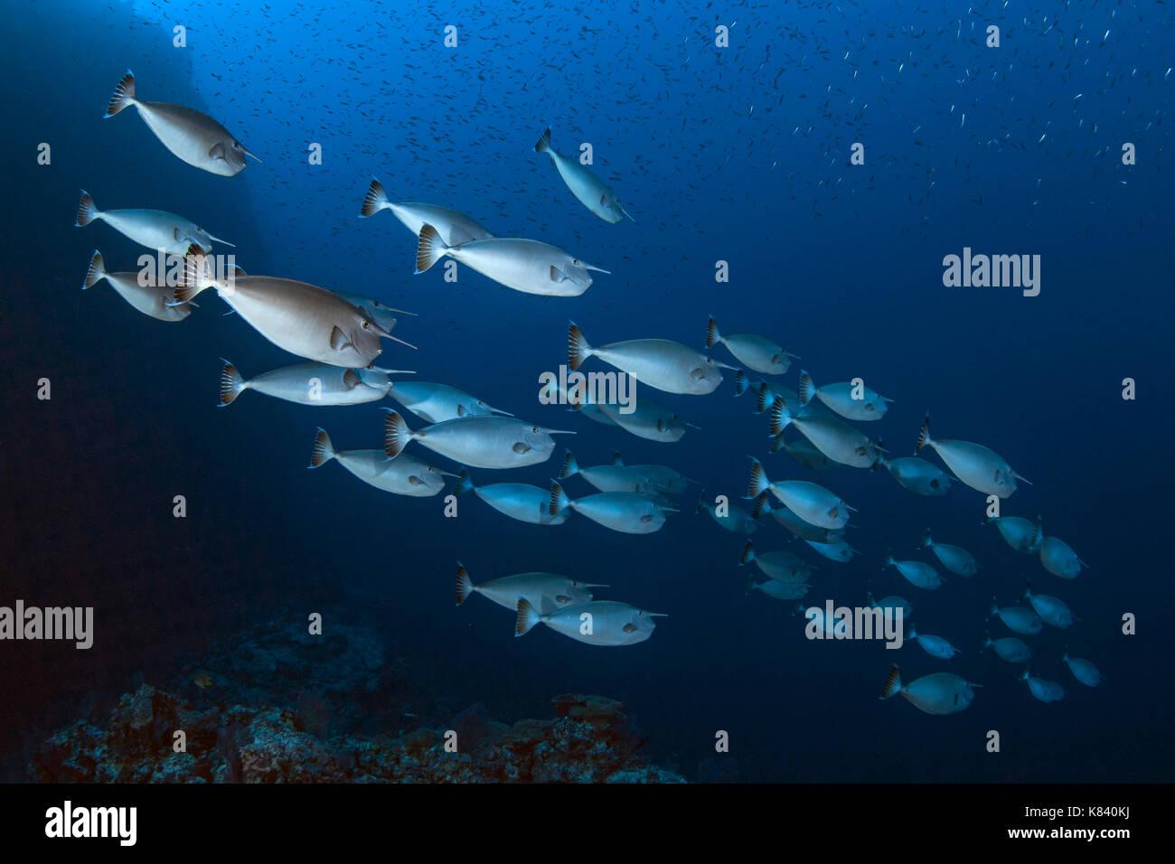 School of Whitemargin Unicorn fish (Naso annulatus); Layang Layang, Spratly Islands, South China Sea. - Stock Image