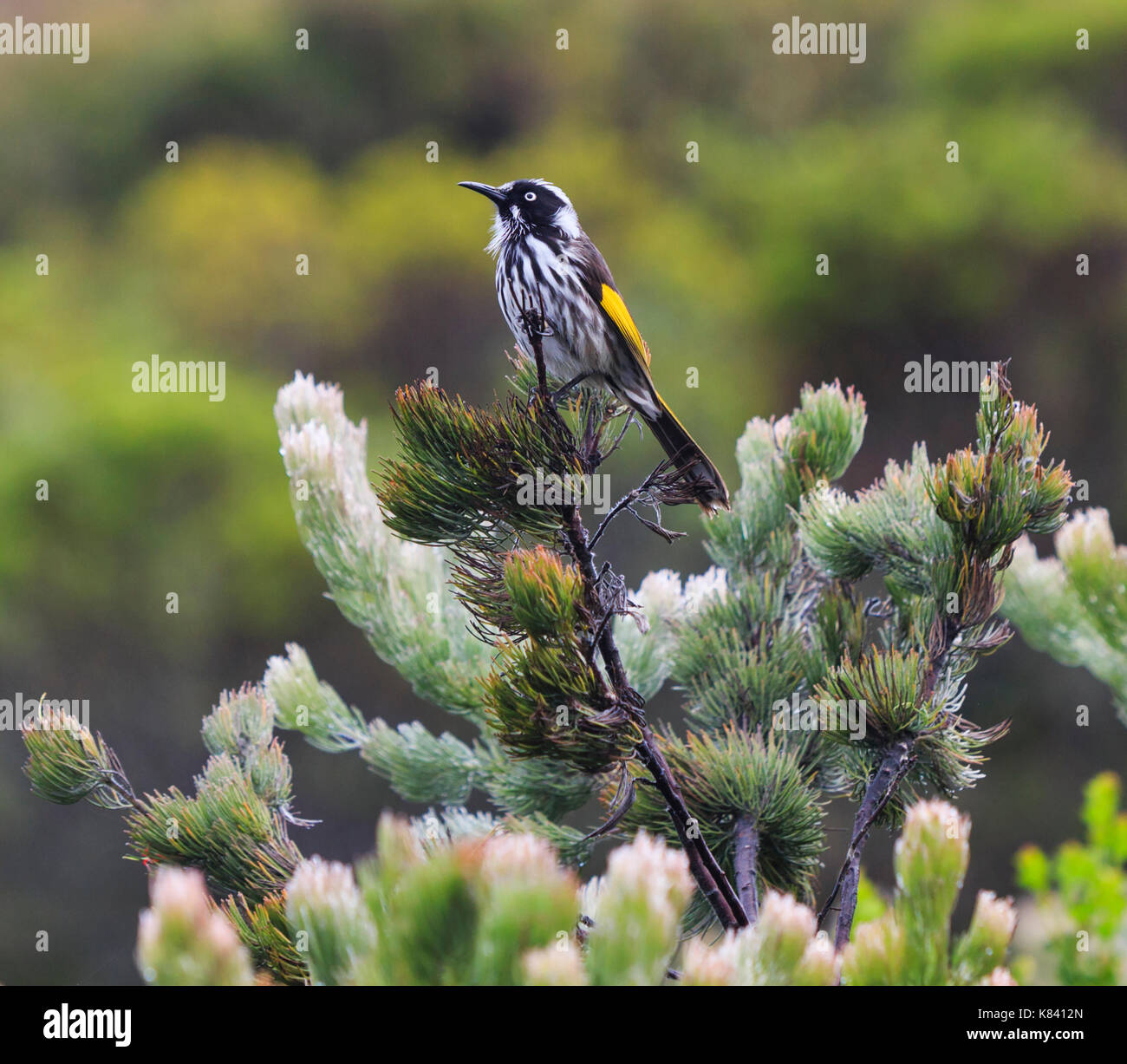 A New Holland Honeyeater (Phylidonyris novaehollandiae) perched on an Albany wooly bush plant - Stock Image