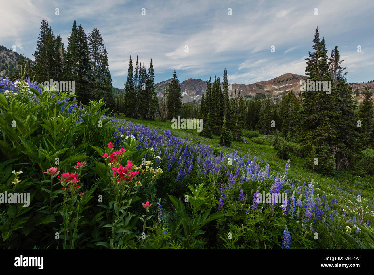 Wildflowers, Albion Basin, Alta, Utah Stock Photo