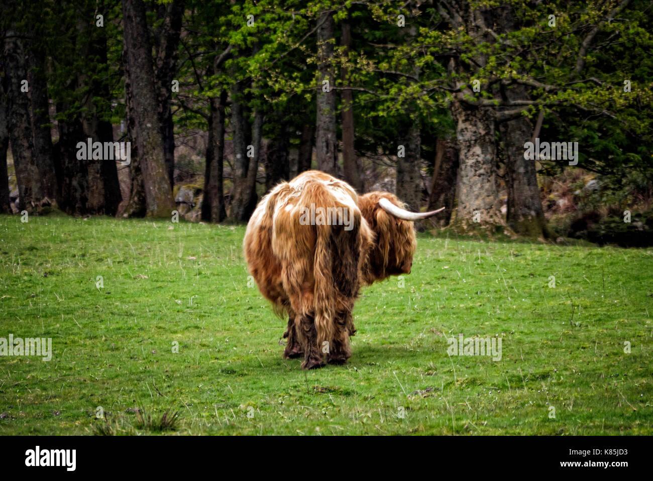 Highland cattle - Stock Image