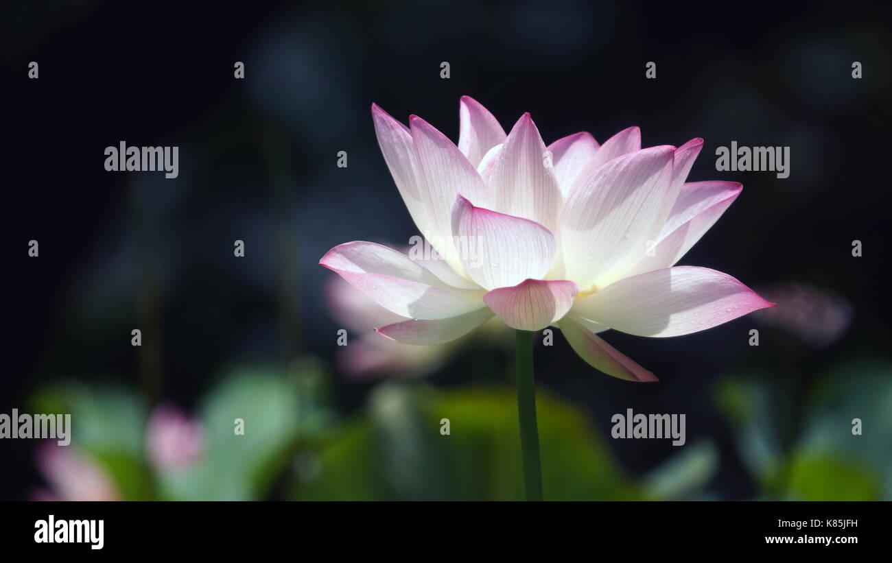 Lotus close up opening in hong kong - Stock Image