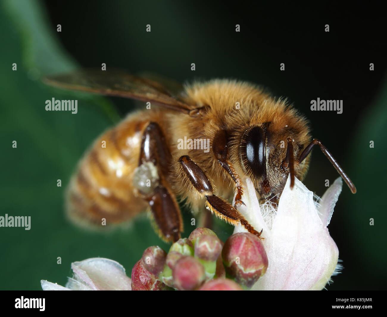 Honey bee (Apis mellifera) gathering pollen on a white flower in Kirkland, WA, USA - Stock Image
