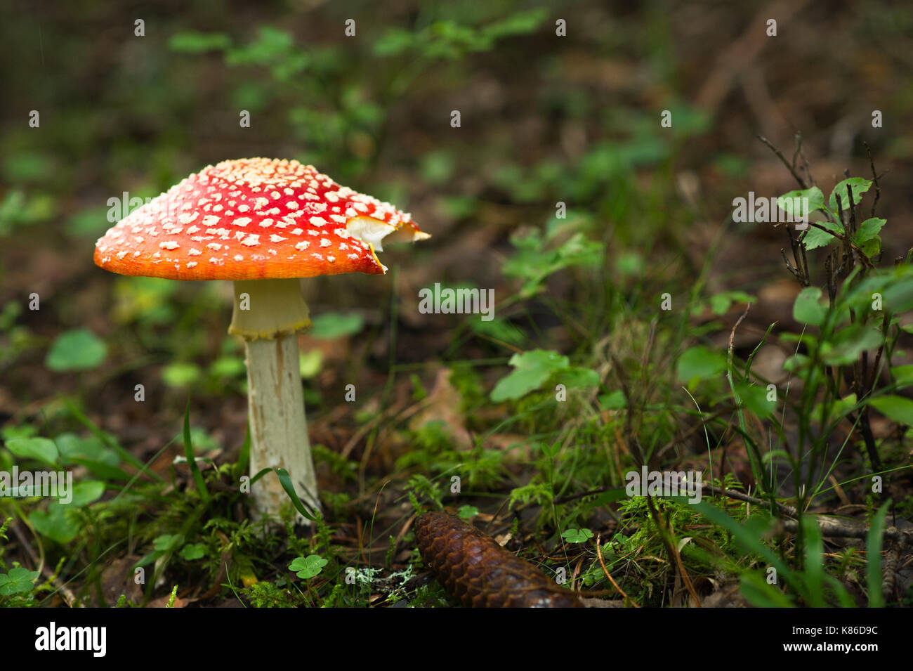 Mushroom in Swedish forest. - Stock Image