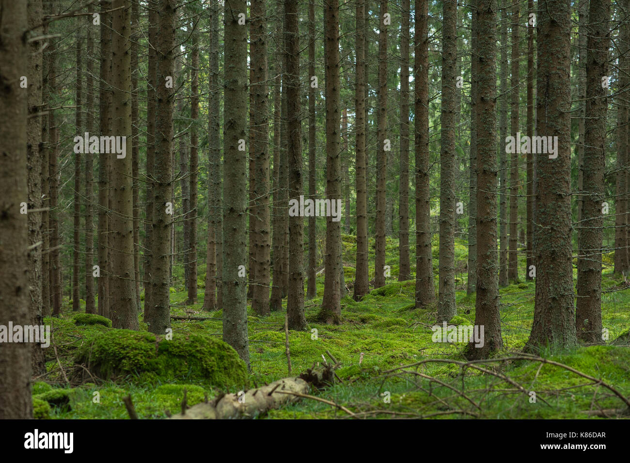 Swedish forest and mossy stones. - Stock Image