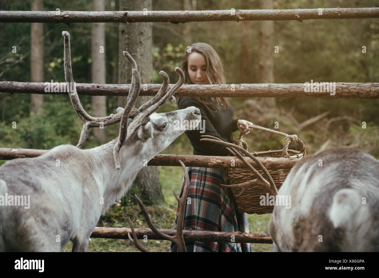 Caucasian pretty woman feeding reindeer in eco farm. - Stock Image