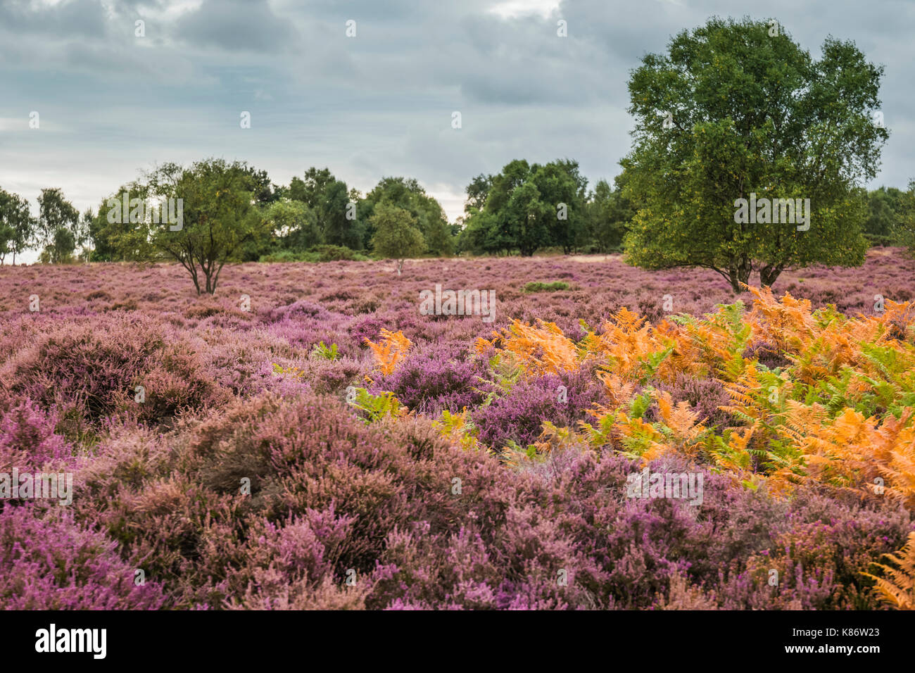 Heathland during autumn at Minsmere nature reserve, Suffolk, UK. Stock Photo