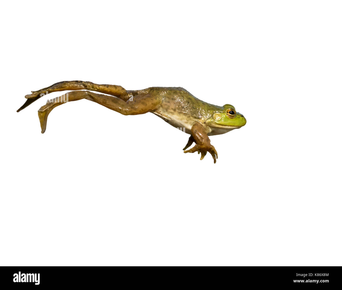 American bullfrog (Lithobates catesbeianus) leaping, isolated on white background. - Stock Image