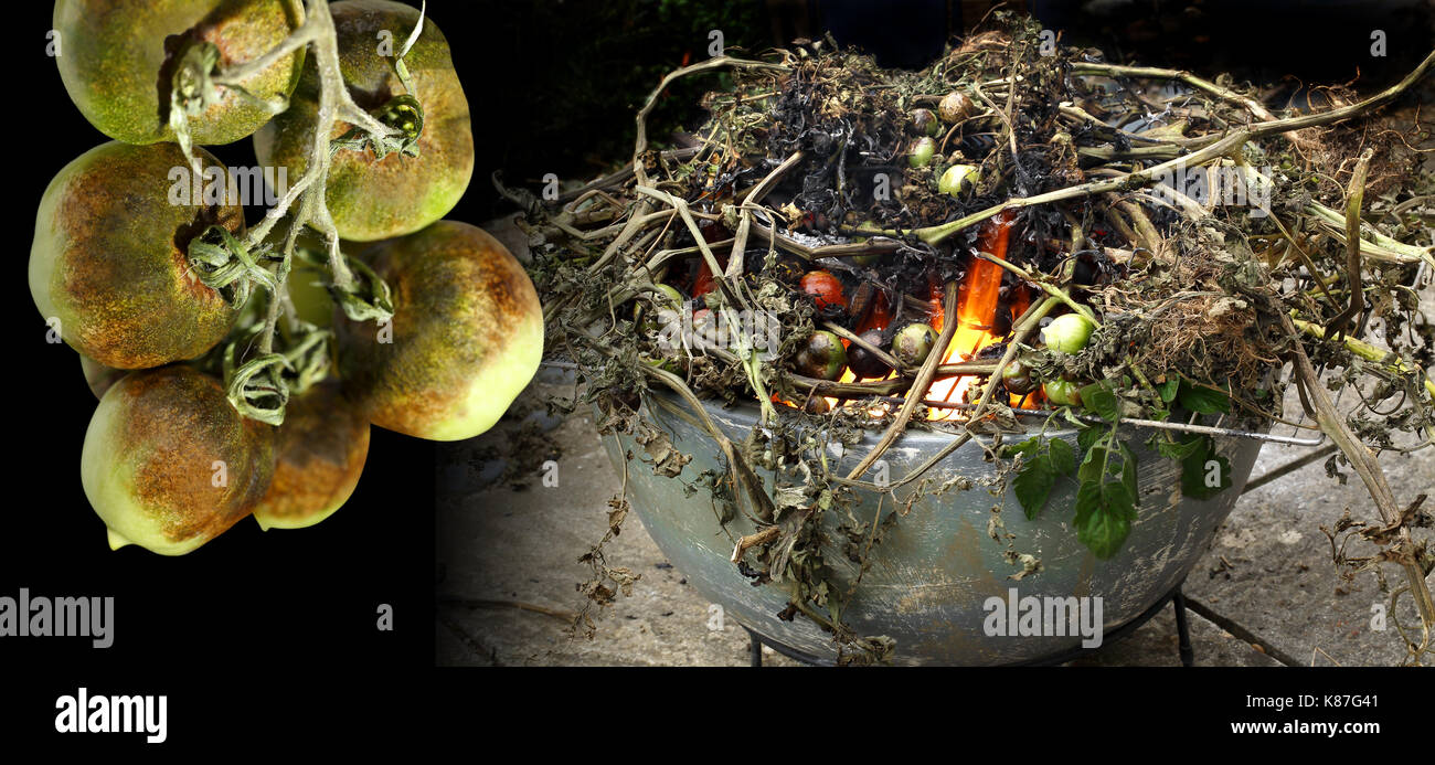 Close up image of tomatoes with tomato blight and the infected plants being burnt to stop the spread of the disease - Stock Image