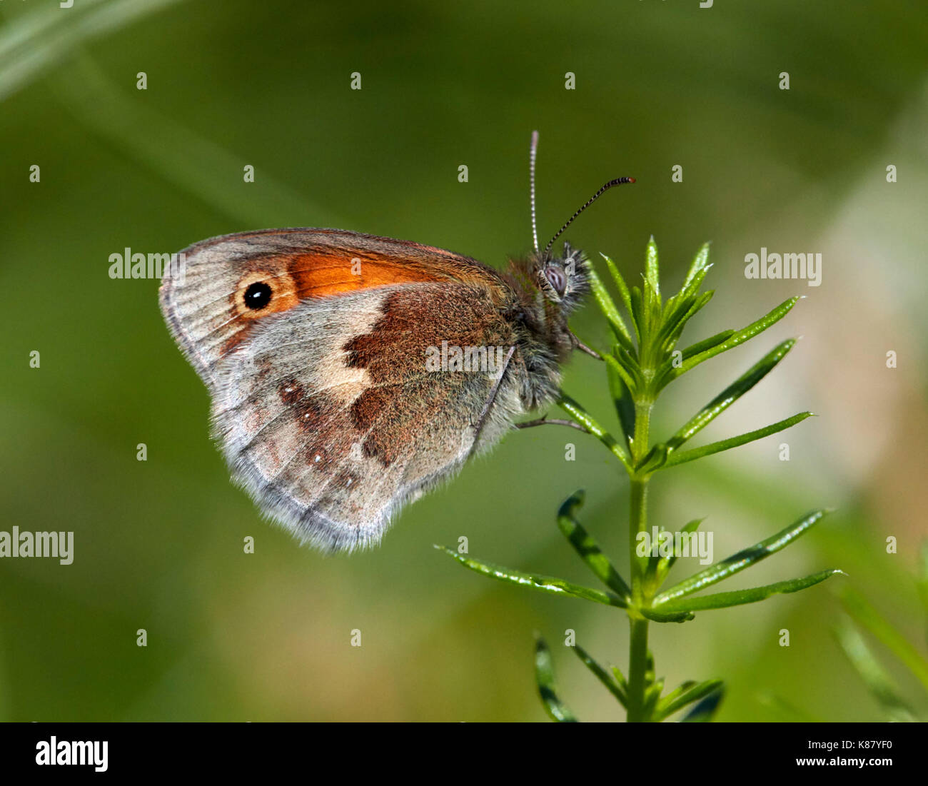 Small Heath butterfly perched on Lady's Bedstraw. Hurst Meadows, East Molesey, Surrey, UK. - Stock Image