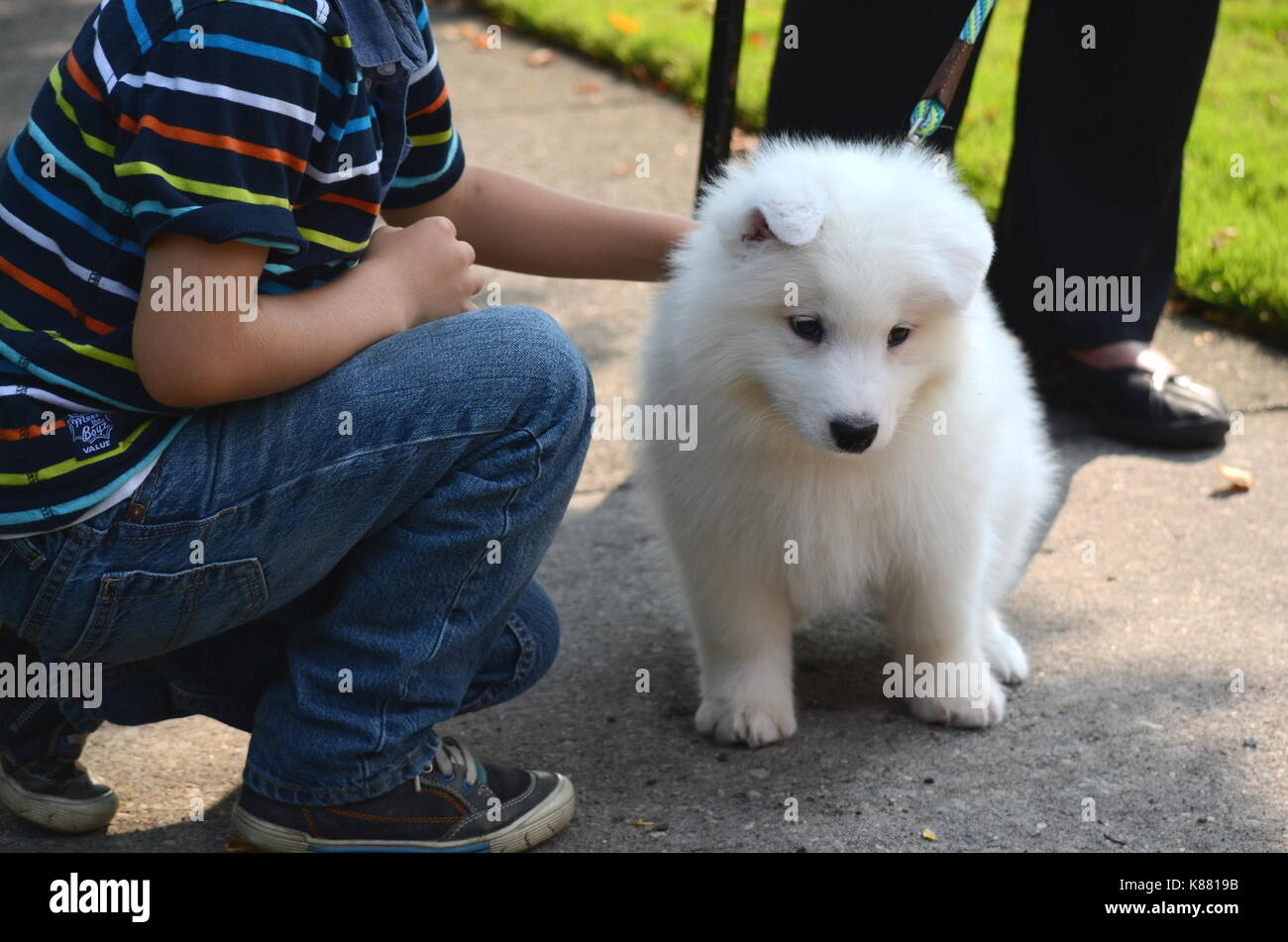 Japanese Spitz Puppy Stock Photos Japanese Spitz Puppy Stock