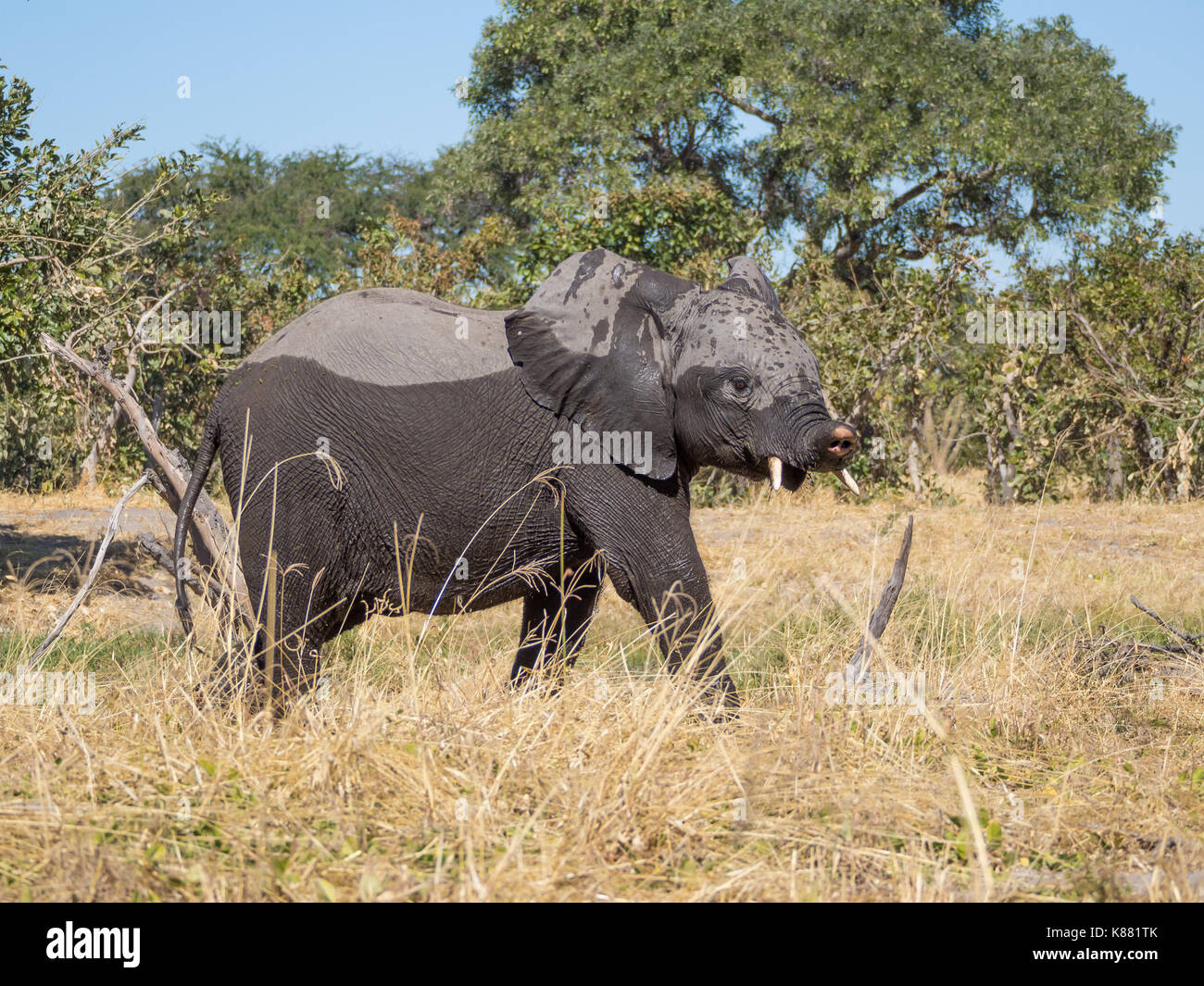 Younger elephant with crippled trunk walking away from Kwai river, Moremi NP, Botswana, Africa. - Stock Image