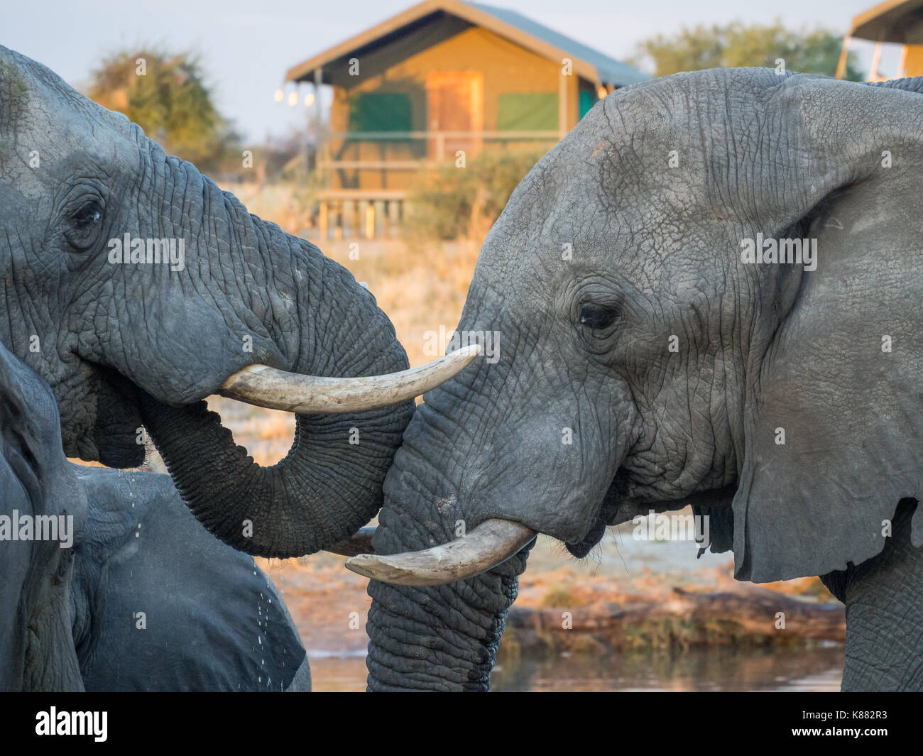 Two African elephants drinking head to head at waterhole with safari tent in background, Botswana, Africa. Stock Photo