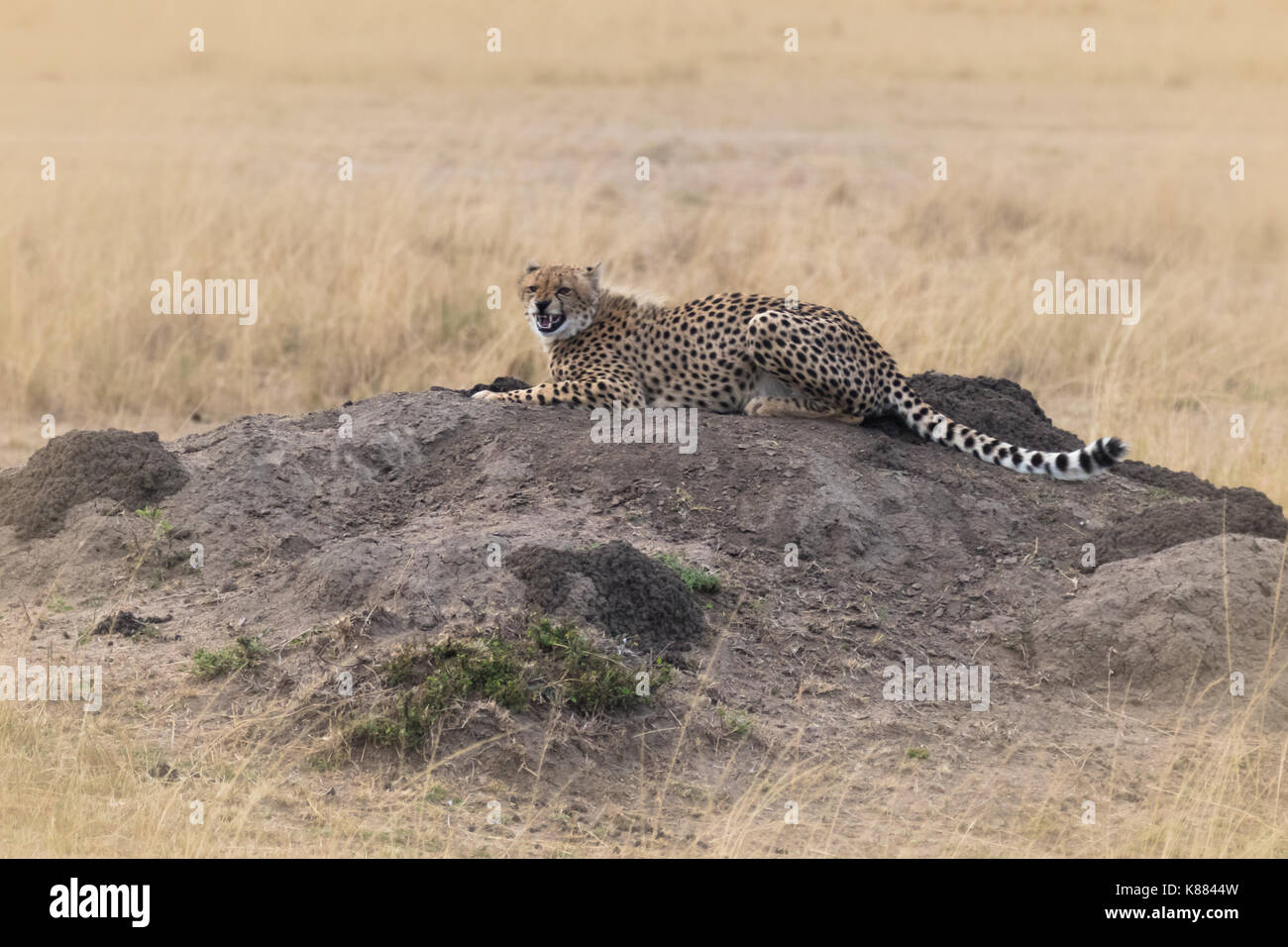 A young cheetah snarls at the camera as she looks for prey from an elevated position on the Masai Mara, Kenya - Stock Image