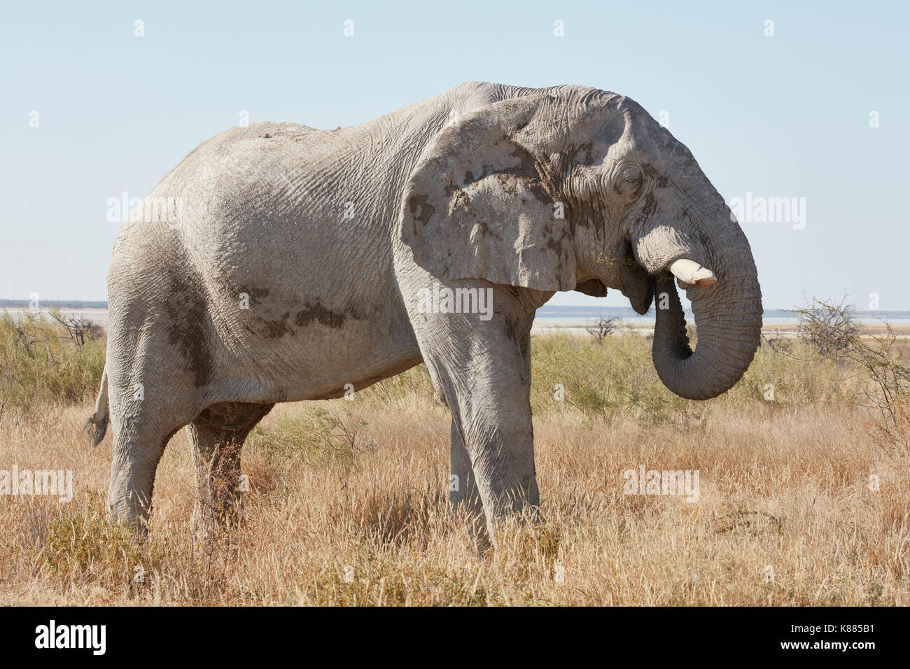 An African elephant, Loxodonta africana, standing in grassland coiling its trunk to feed. - Stock Image