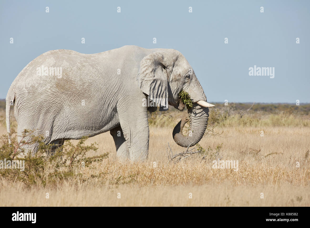 An African elephant, Loxodonta africana, with tusks standing in grassland. - Stock Image