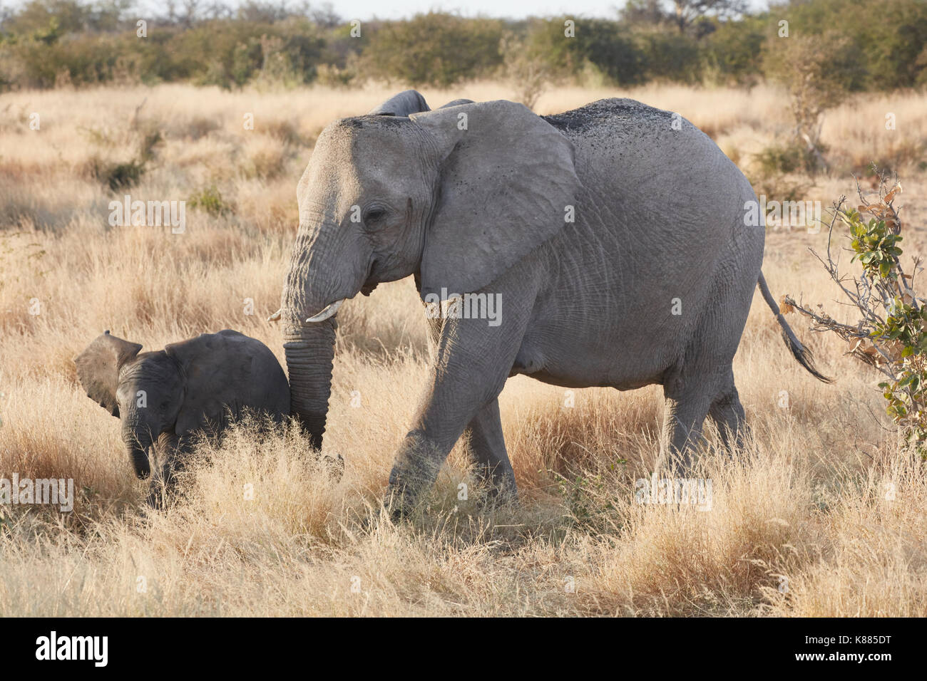 Two African elephants, Loxodonta africana, an adult and a young elephant walking in grassland. - Stock Image