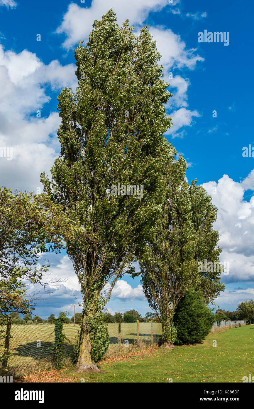 mature, tall trees against a fenced farm field, with nobody around, in the early autumn sunshine, Langtoft, Lincolnshire, England, UK. - Stock Image