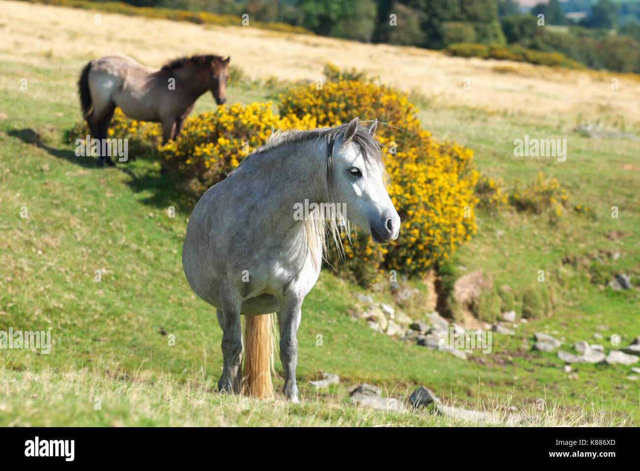 Hergest Ridge wild ponies high up on the border between England and Wales - Stock Image