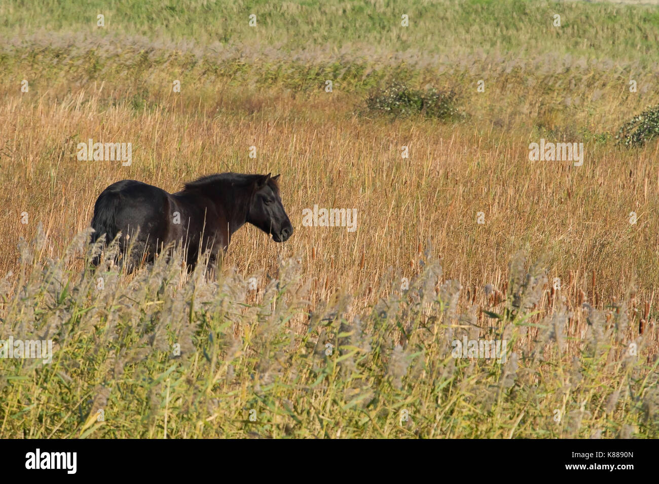 photo of an adult Konik horse in long grass - Stock Image