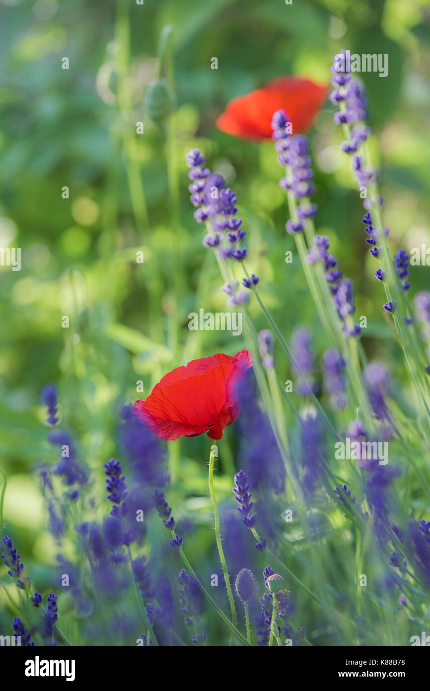 Red Poppy flower and Lavender. - Stock Image