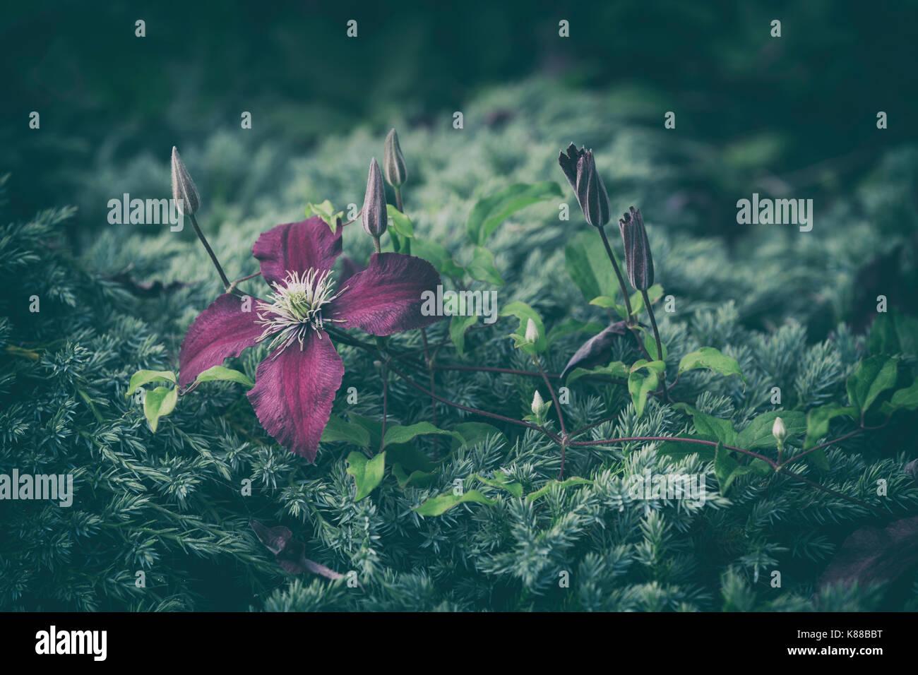 Purple Clematis flower. - Stock Image