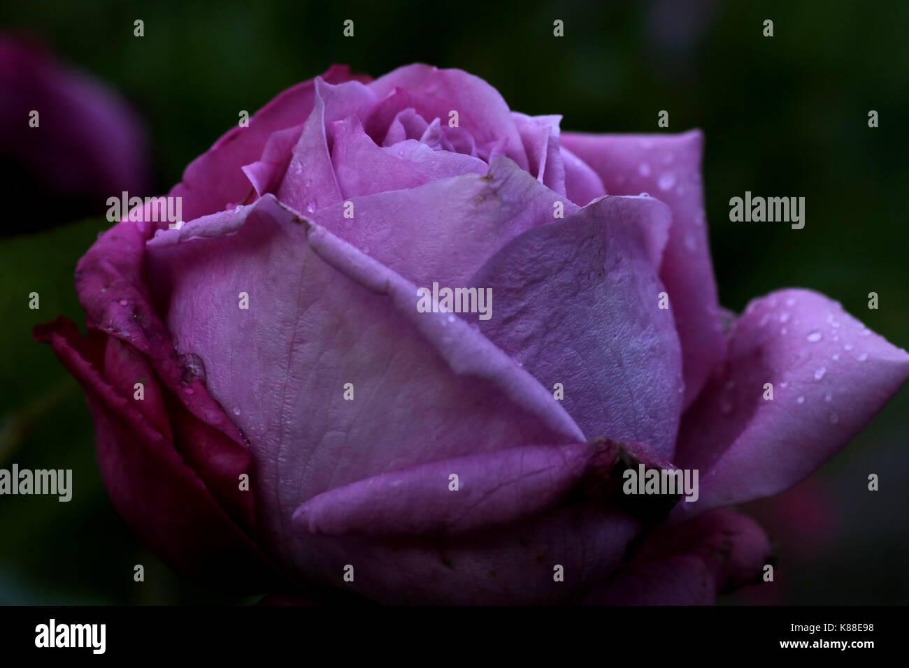 'Lila Wunder' rose flower - Stock Image