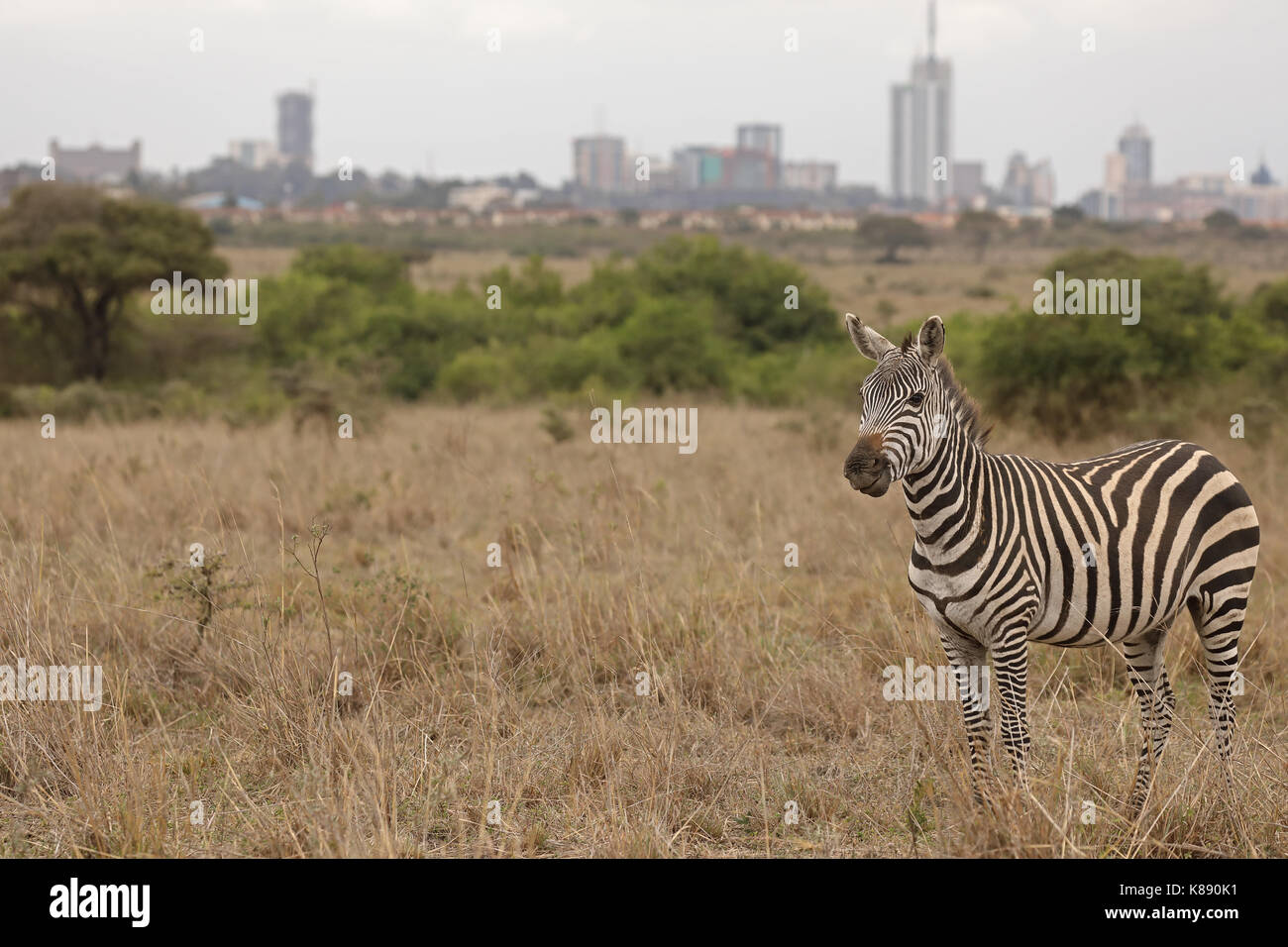 Common zebra, Equus quagga, Nairobi National Park, Nairobi city in background, Nairobi, Kenya - Stock Image