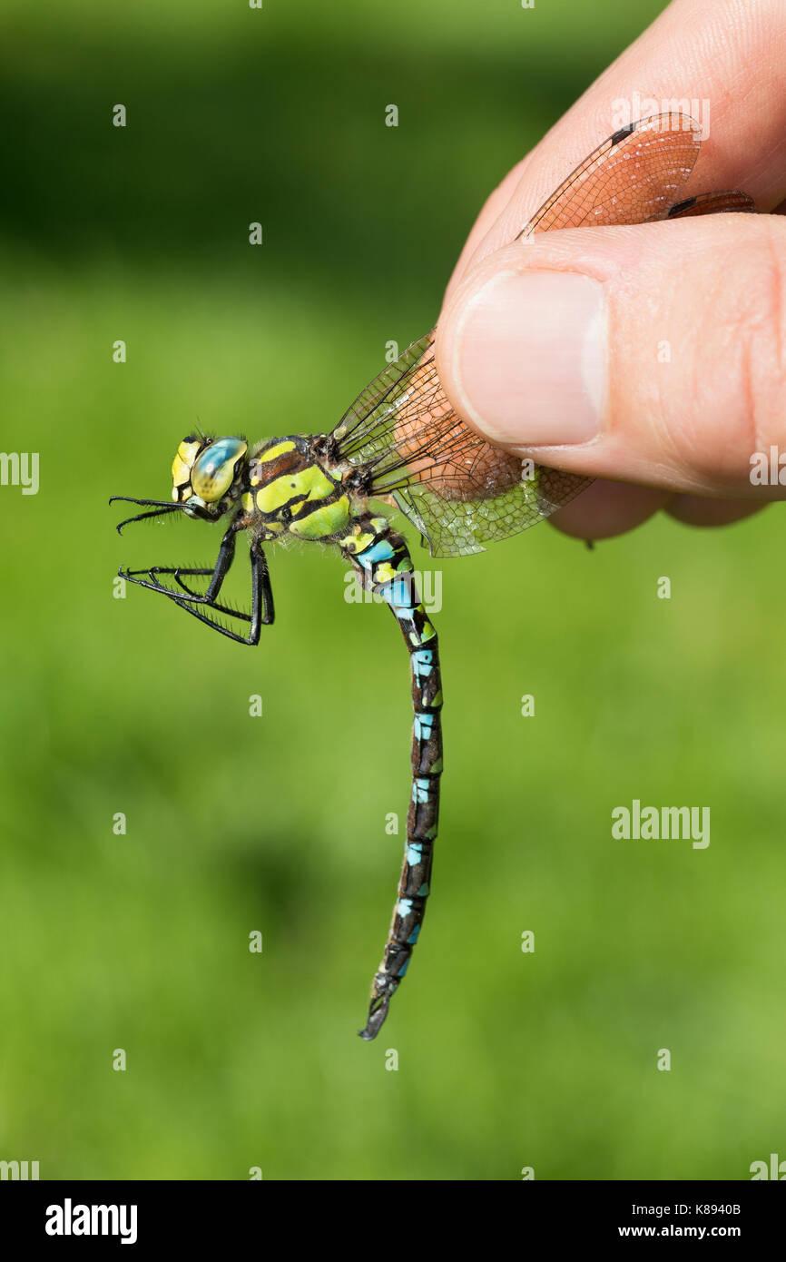 Libellen-Bestimmung, gefangene Libelle wird vorsichtig zwischen zwei Fingern gehalten, Entomologie, Biologie, Freilanduntersuchung, - Stock Image