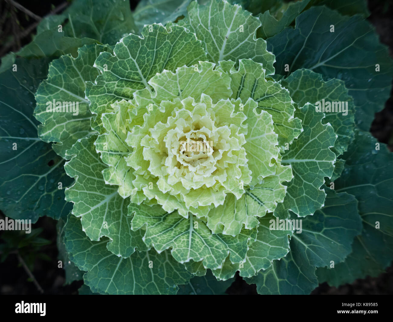 Stock image of a cabbage or headed cabbage leafy green biennial plant, grown as an annual vegetable crop. - Stock Image