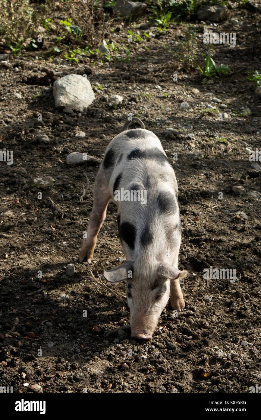 Piglet in Patsos in the mountains of central Crete.   Ferkel im Herzen Kretas. Stock Photo
