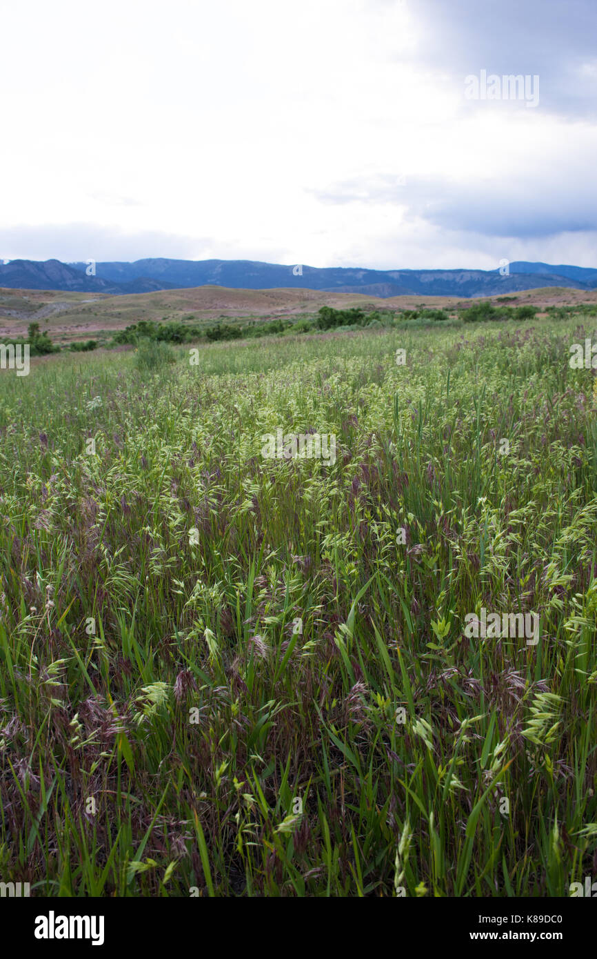 Lush grass with green and lavender seed heads at eye level with foothills and mountains of Yellowstone National Stock Photo