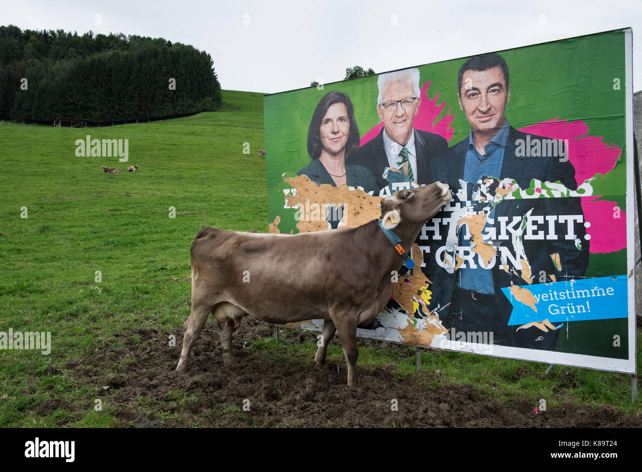 German Federal Elections 2017. A cow is eating The Greens 'Die Grünen' political party campaign poster - Stock Image