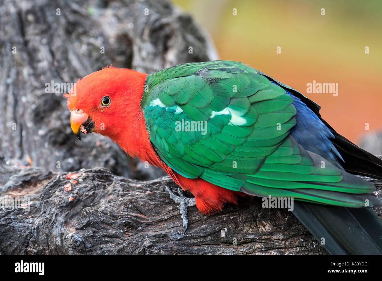 Australian king parrot (Alisterus scapularis) male, native to eastern Australia - Stock Image