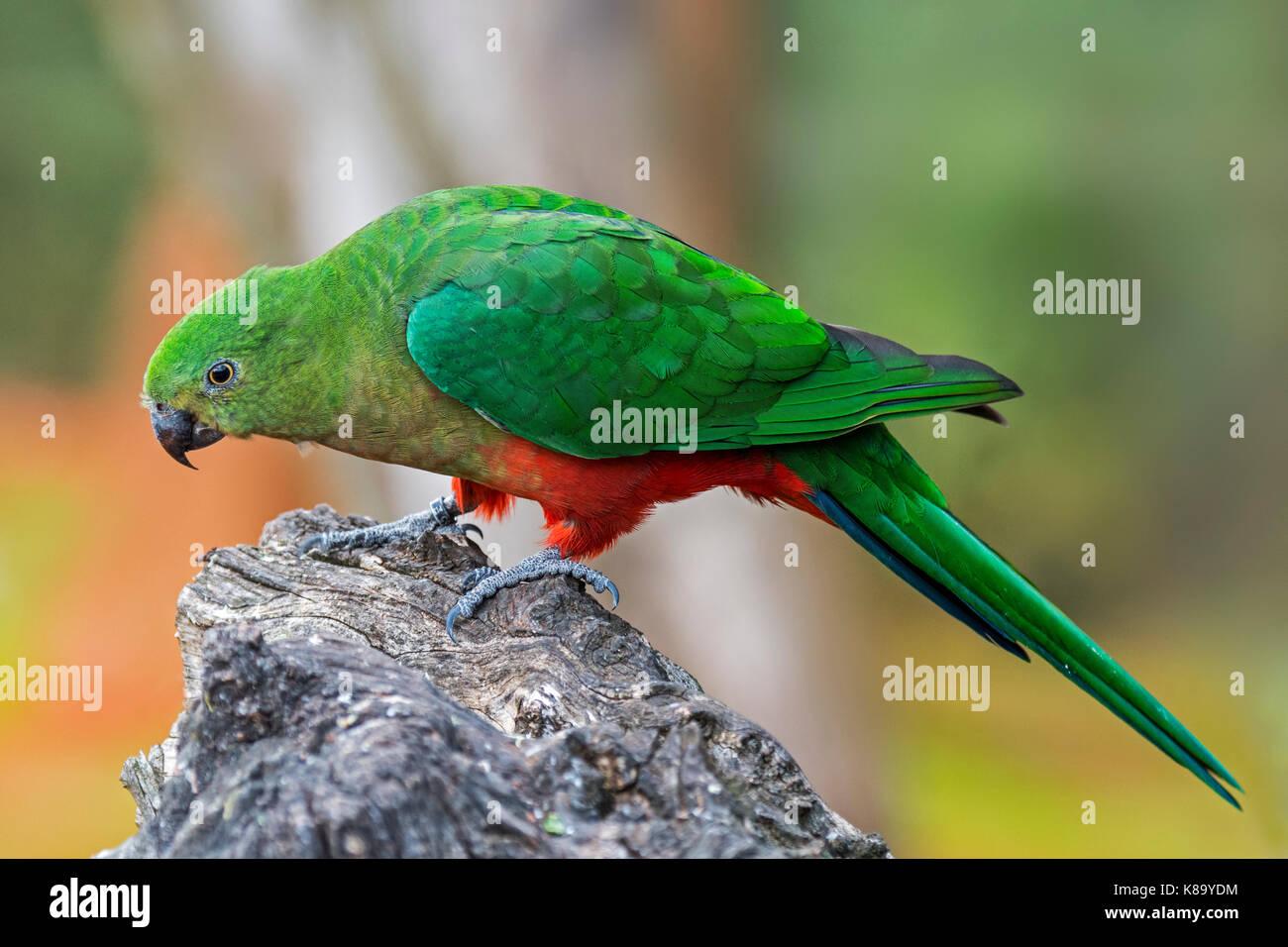 Australian king parrot (Alisterus scapularis) female, native to eastern Australia - Stock Image