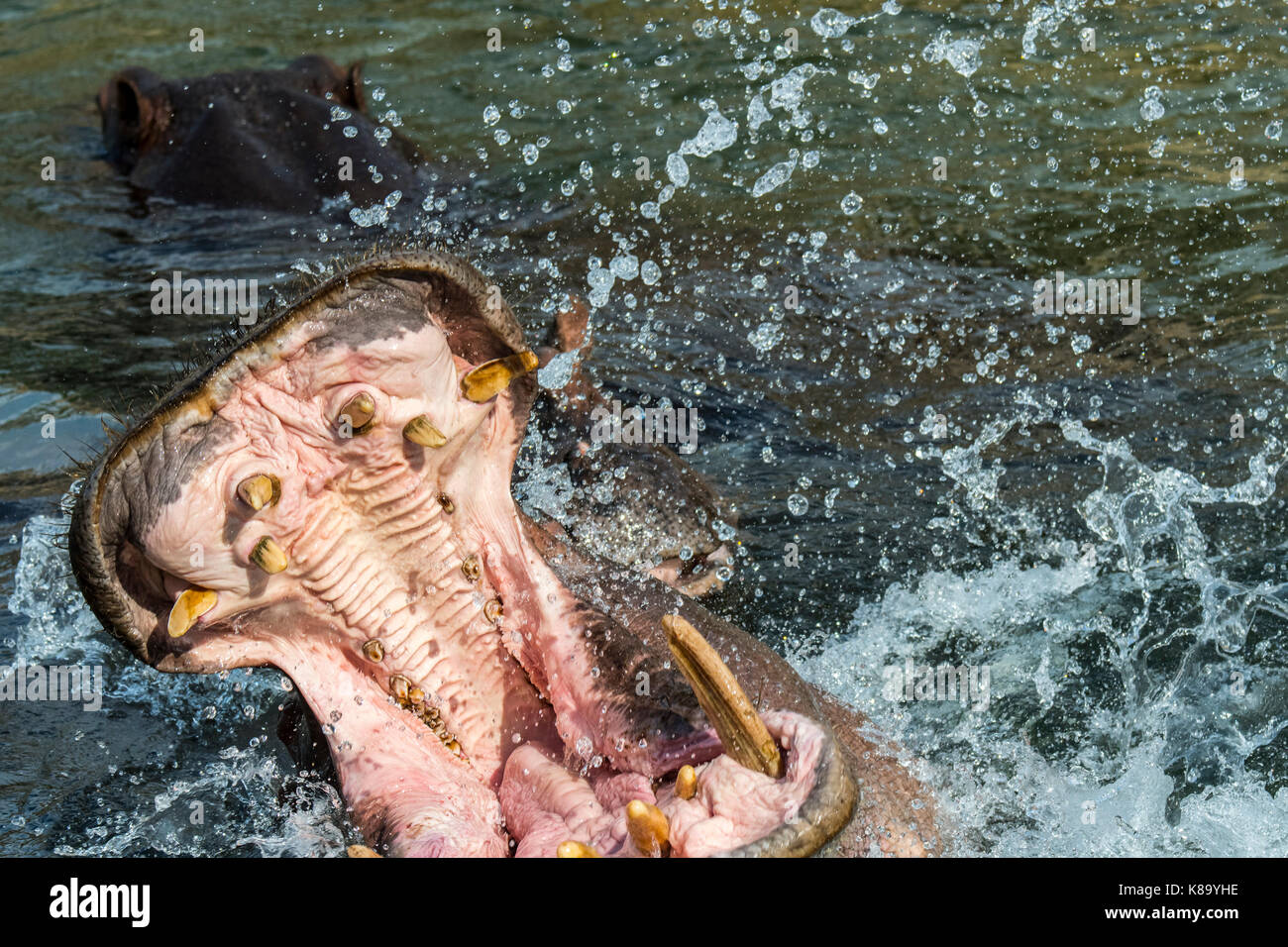 Common hippopotamus / hippo (Hippopotamus amphibius) in lake showing huge teeth and large canine tusks in wide open - Stock Image