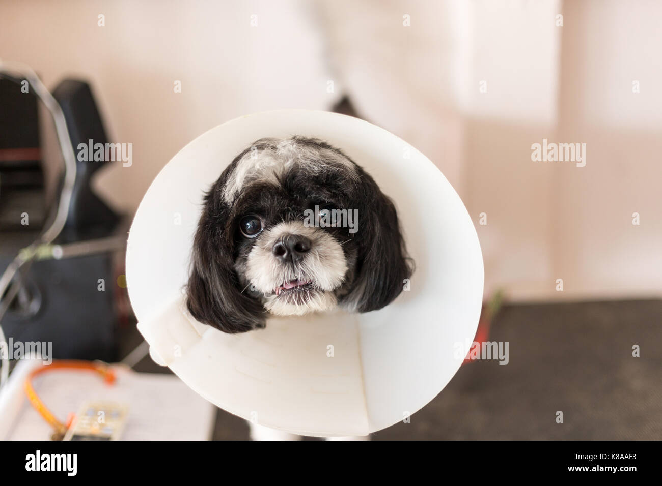 Little dog wearing a lampshade collar - Stock Image