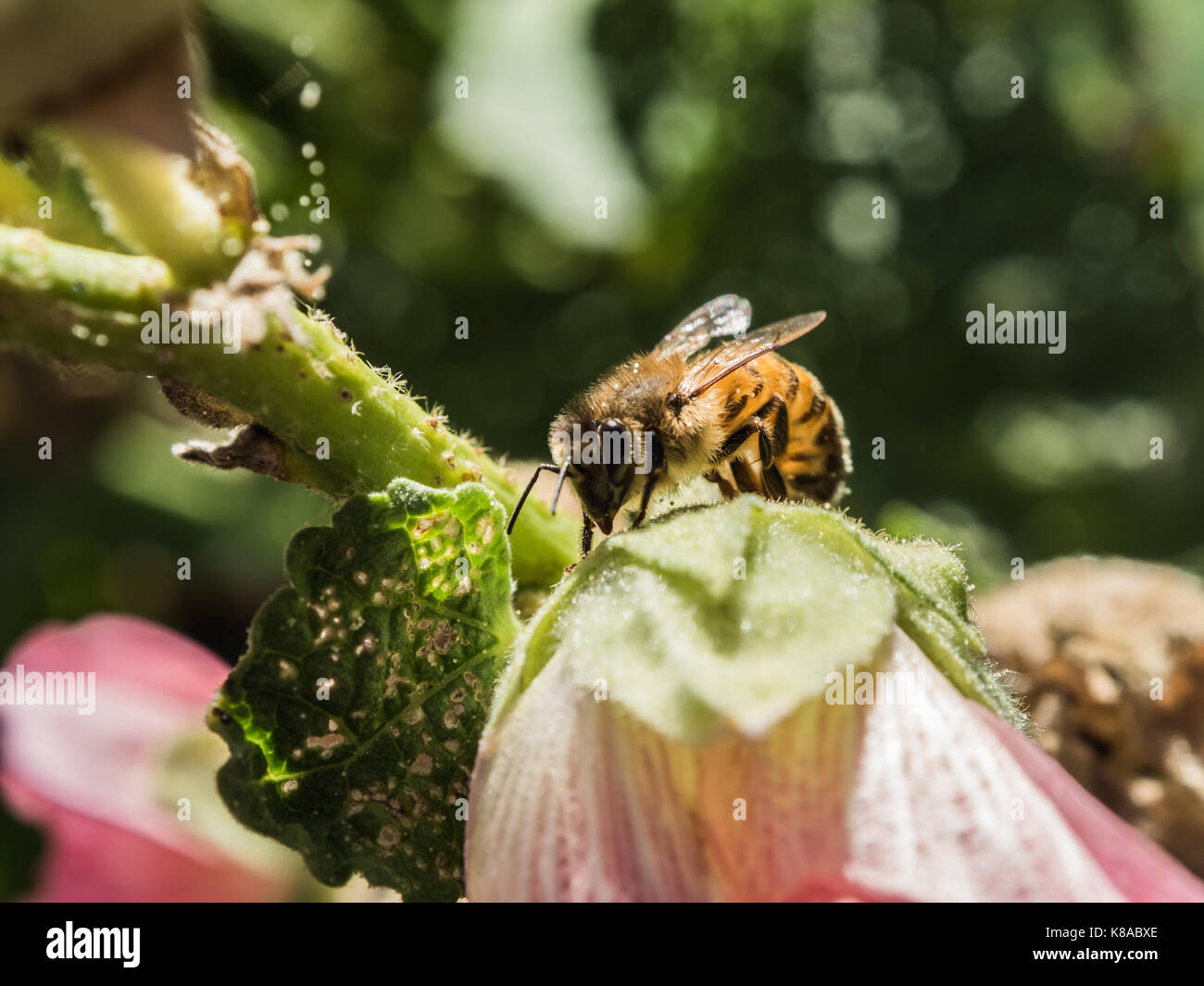 Pollinating. Cute picture of western honey bee. Bee pollinate pink flower. Macro view. Close-up. Green background. - Stock Image