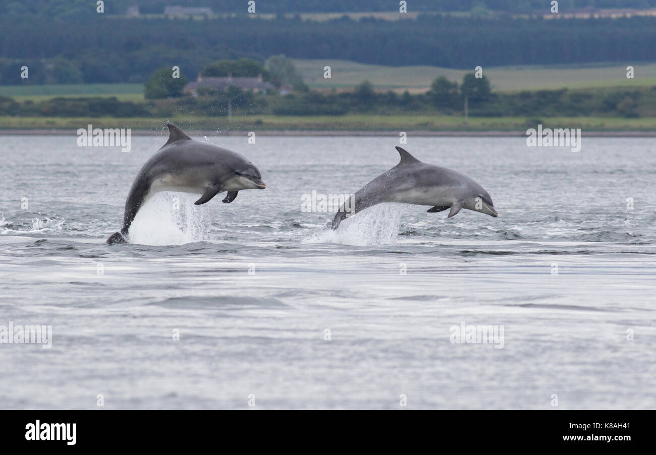 Two bottlenose dolphins (Tursiops truncatus) leaping/breaching in the Moray Firth, Chanonry Point, Scotland, UK - Stock Image